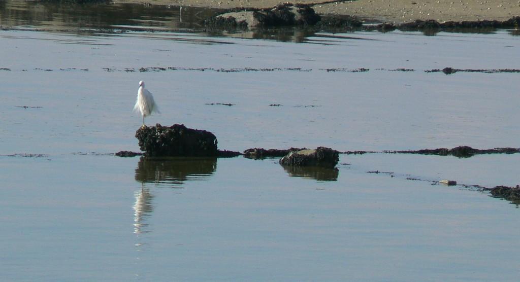 La garza sabe lo que esconden las leiras do mar.