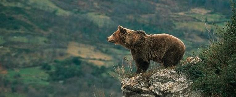 El oso pardo, habitante de los bosques de Lugo.