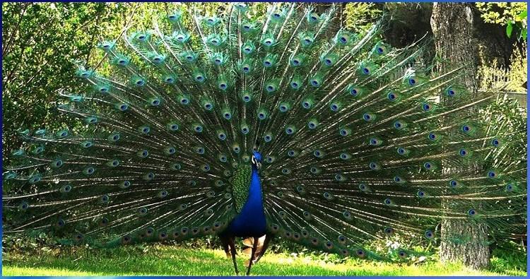 Edici n 217 galiciaunica - Fotos de un pavo real ...