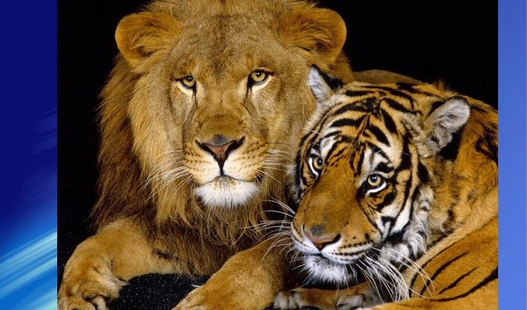 1 LEON+TIGRE+